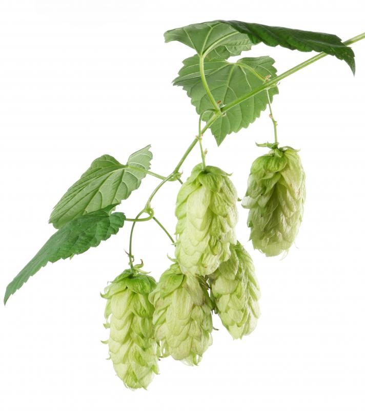 Hops are toxic to cats and dogs.