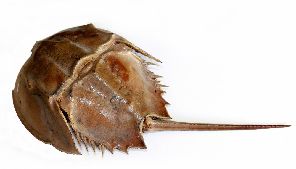 A horseshoe crab, one of the oldest living animal species.