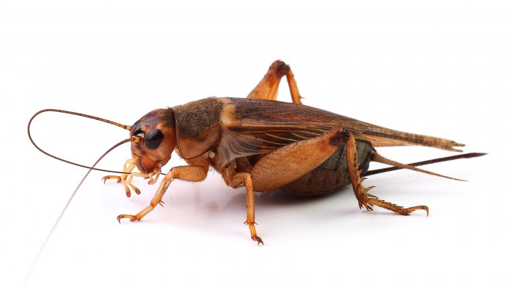 A cricket has longer antennae than a grasshopper.