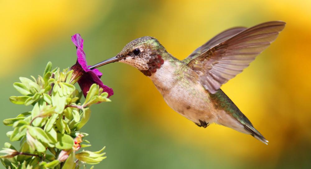 A flying hummingbird.