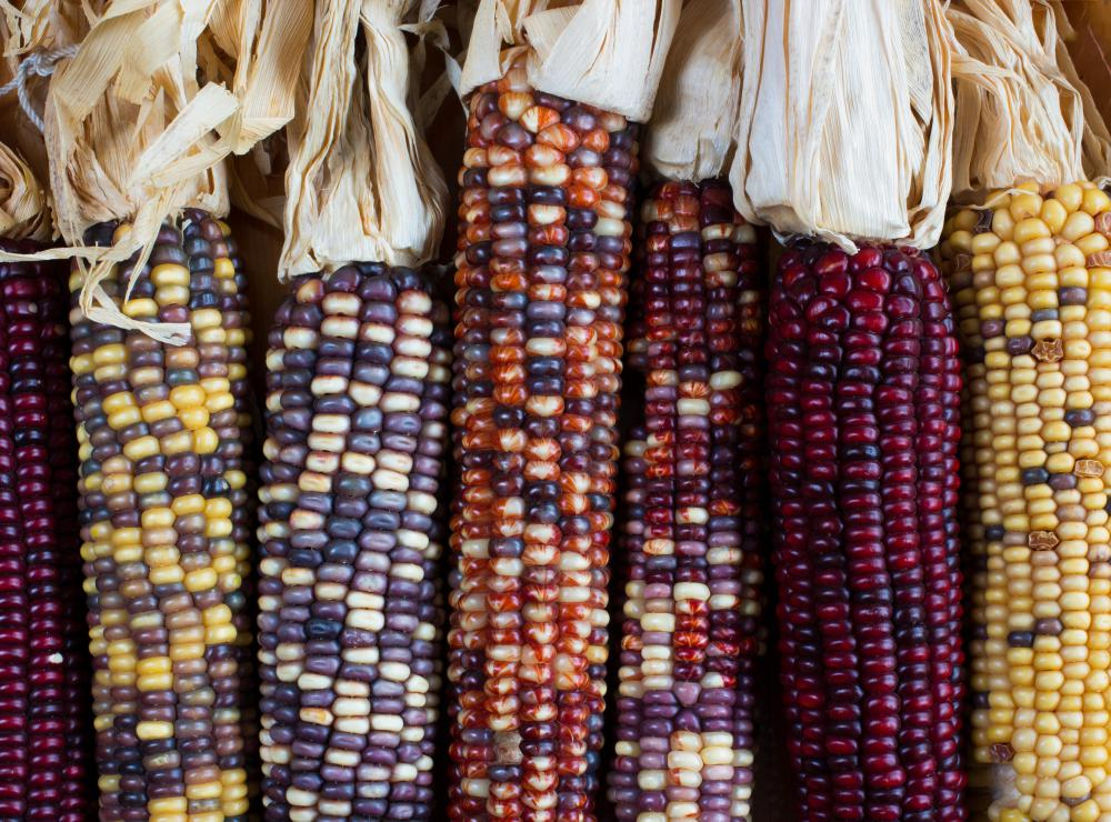 Flint corn, or Indian corn, comes in many different colors.