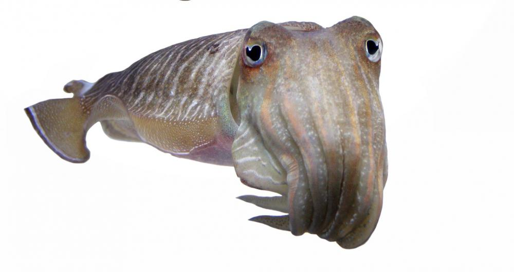 Cuttlefish, which can change the color of their skin to communicate or hide from predators, are mollusks in the class Cephalopoda.