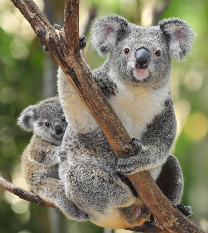 A specialist animal, the koala only lives in and eats the leaves of eucalyptus trees.