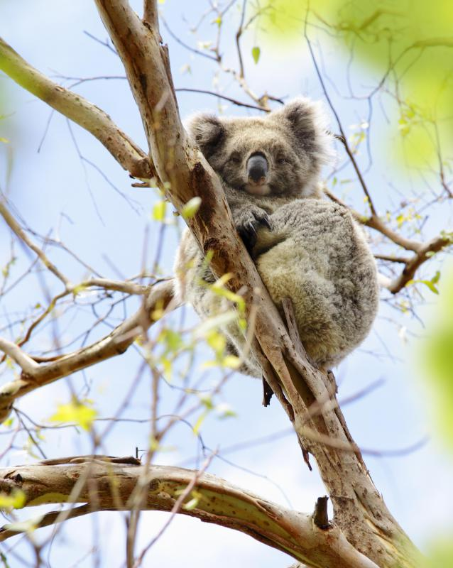 Many marsupial species, including the koala, survive in Australia's unique ecosystem.