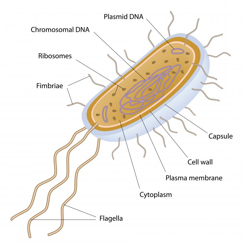 A bacterium is unicellular and has a single DNA molecule.