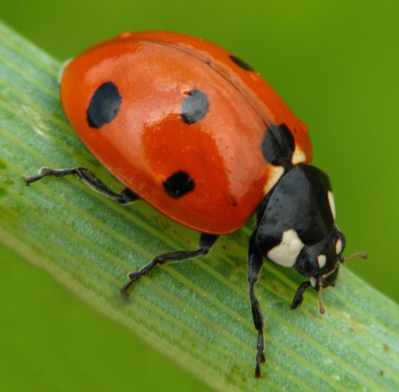 Ladybugs eat aphids.