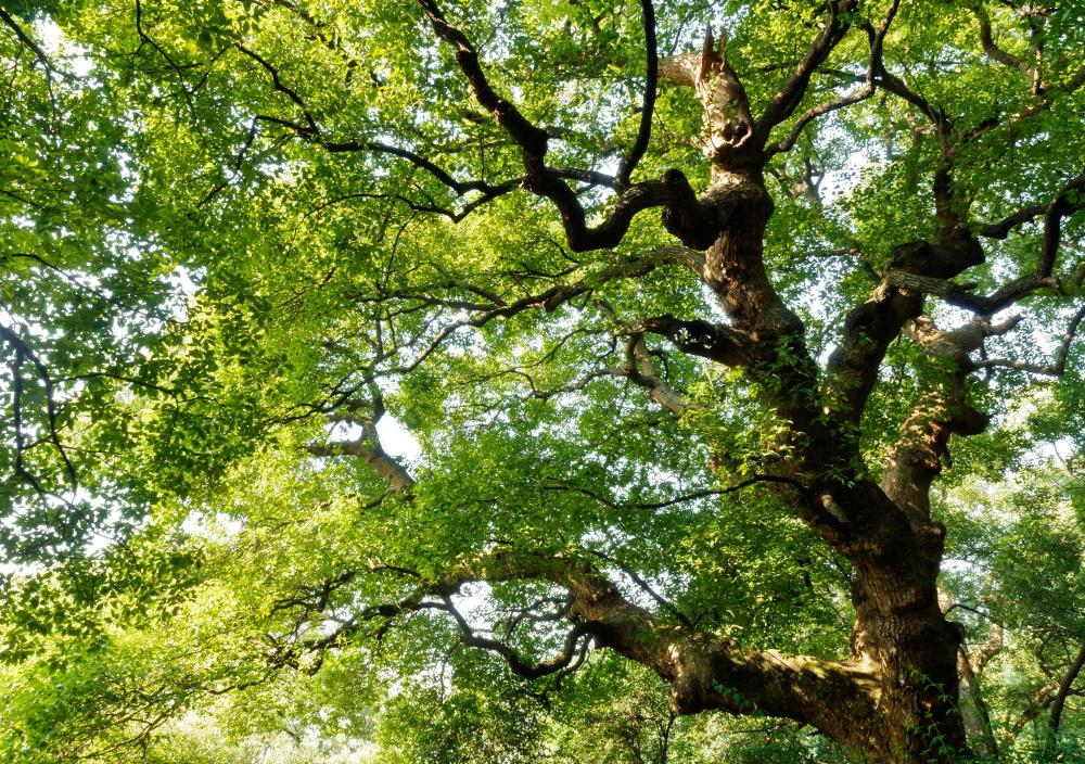 Large shade trees may help reduce a home's energy needs.