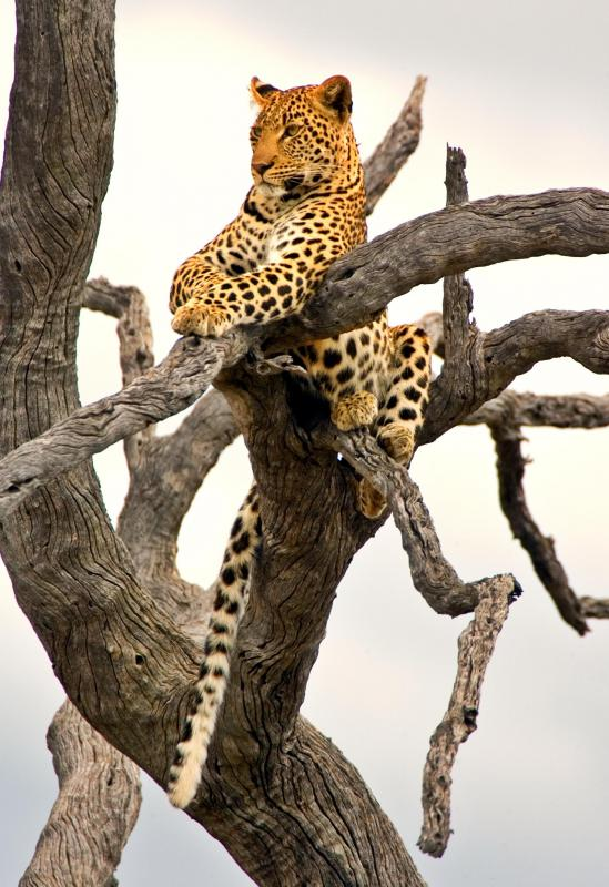 Many animals, such as leopards, rest and dine in trees so as to avoid predators.