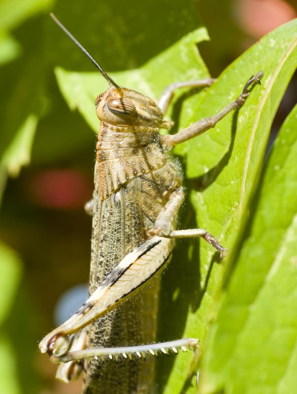 Sometimes a species, such as a locust, may attain dominance through sheer numbers.