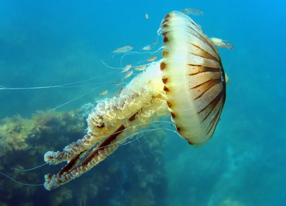 Jellyfish live in coral reefs.