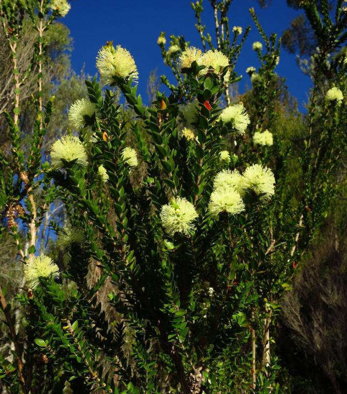 "The term ""tea tree"" can be used to refer to plants in the Melaleuca genus."