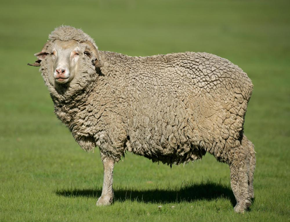 Merino sheep provide high-quality wool.