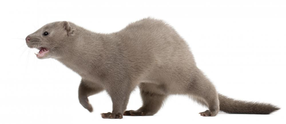 Minks can be found living in a freshwater biome.