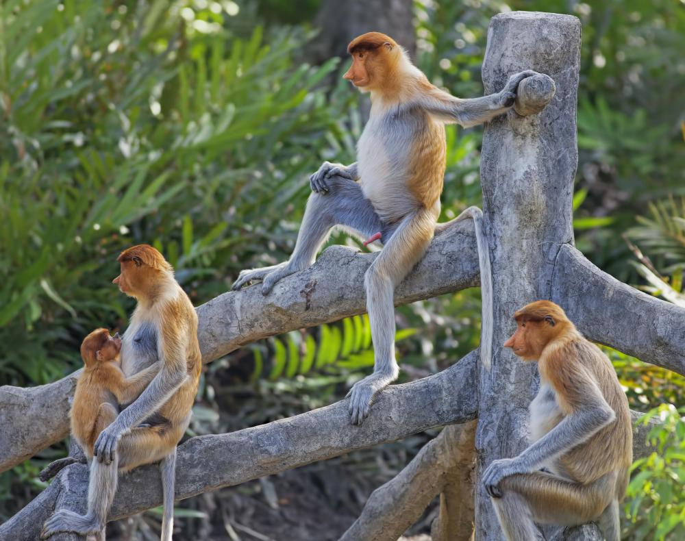 Barbary macaques live in Morocco, Algeria, and Gibraltar.
