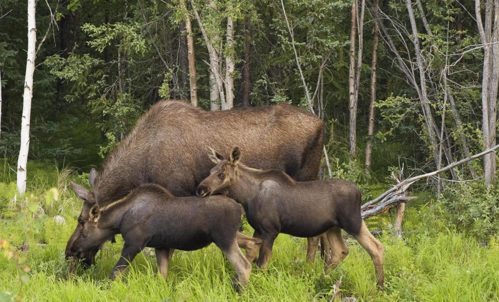 Most moose live alone or in small family groups.