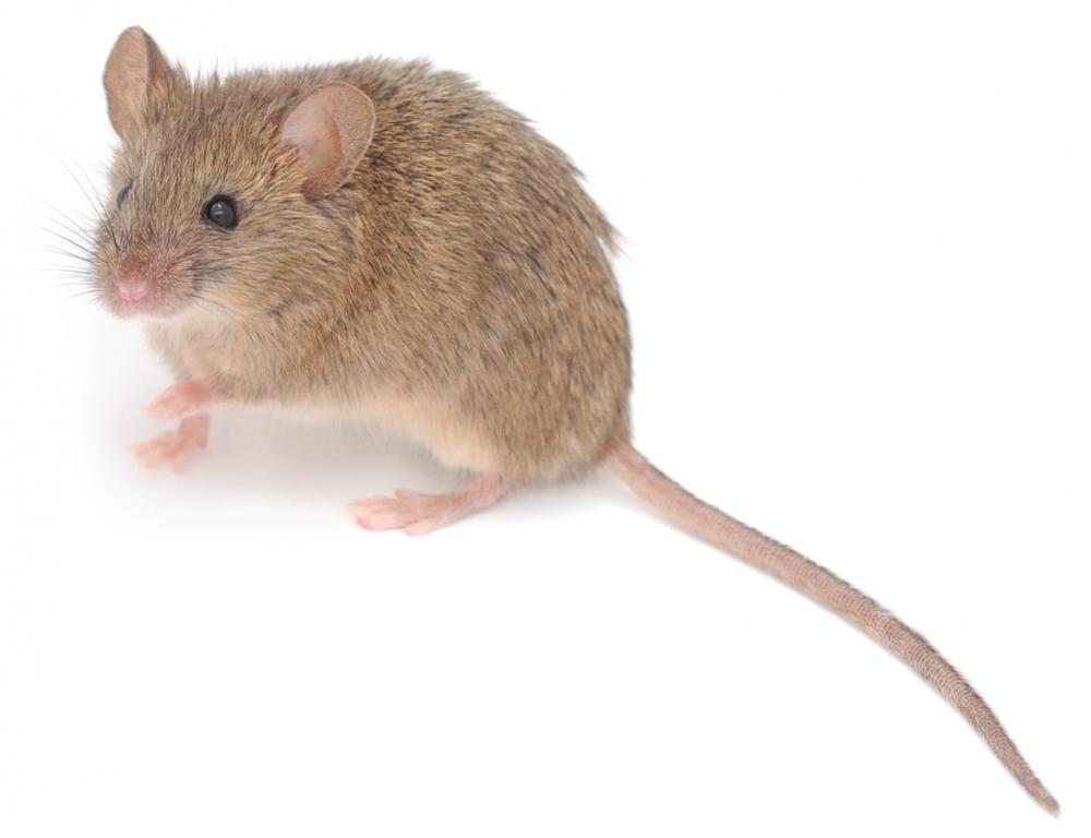 Mice are smaller than rats.
