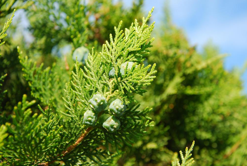 Evergreen trees are able to flourish even in harsh environments.
