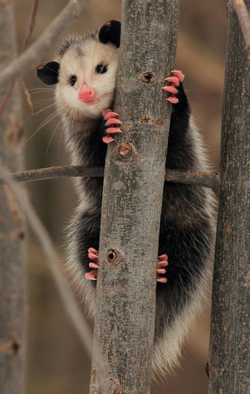 Opossums are an example of an animal whose babies are born while the mother sleeps.