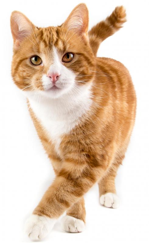 Any breed of cat can be a Marmalade as long as it is reddish, yellow, or orange in color.