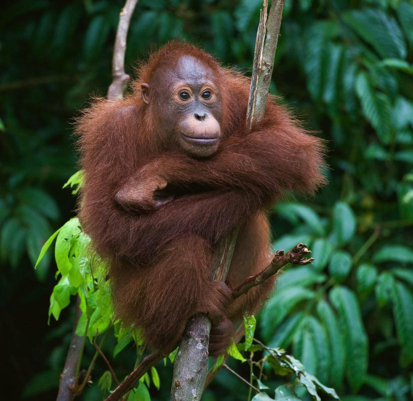 Orangutans are arboreal animals that live in Malaysia and Indonesia.