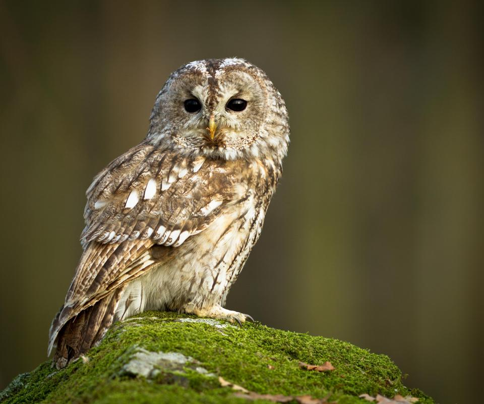 Despite being nocturnal, owls probably see in color.