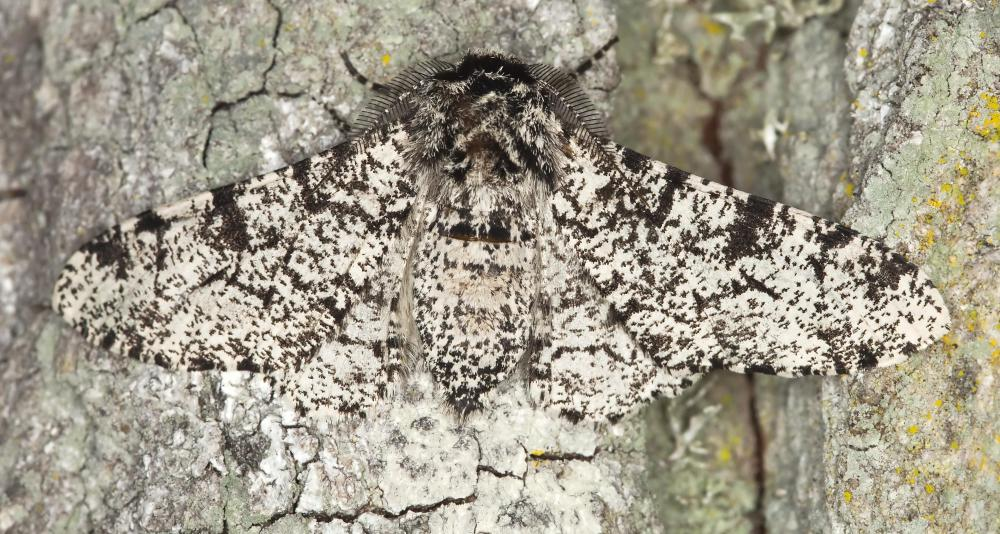 Moths are considered an invasive species.
