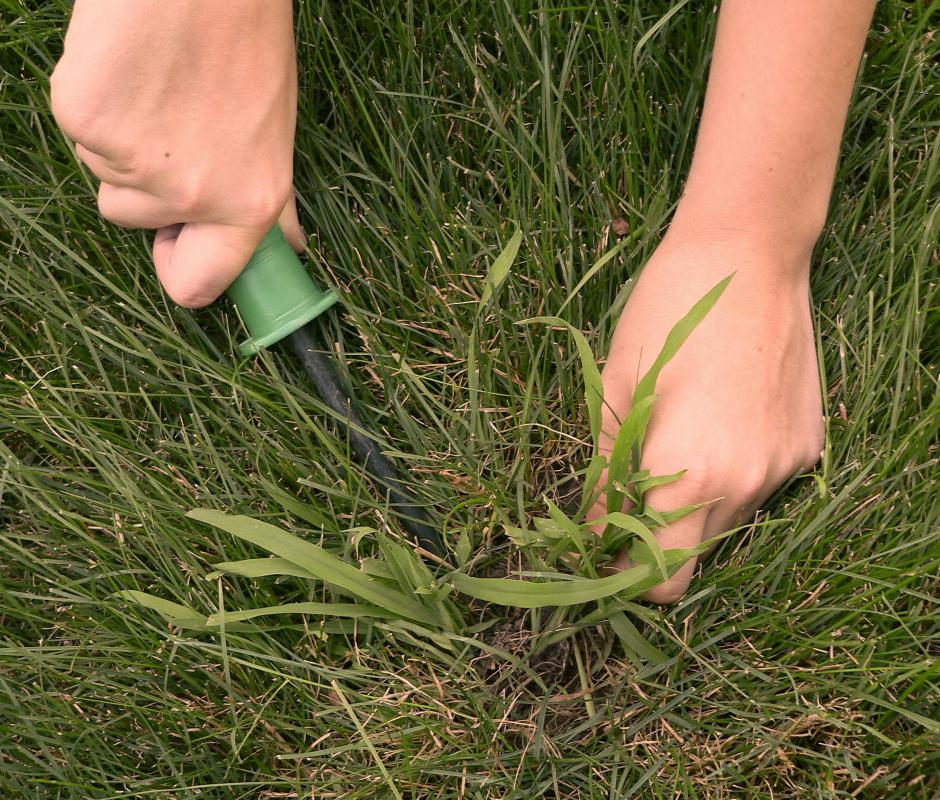 Crabgrass is a warm-season weed that can overtake a lawn or garden extremely quickly.