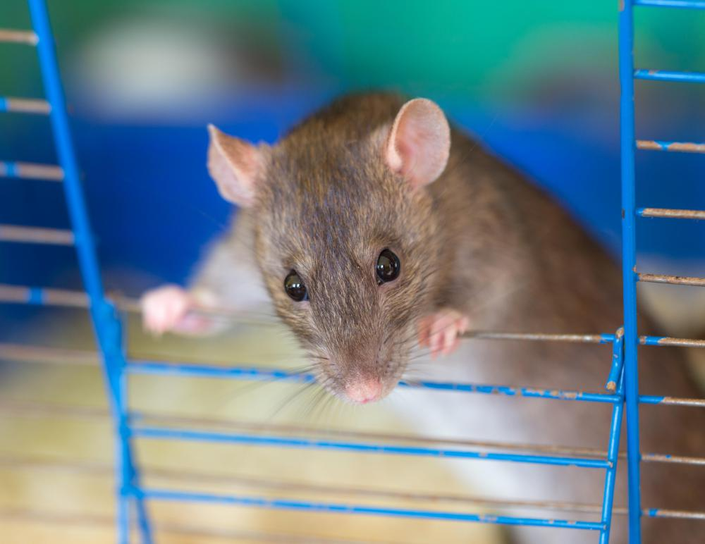Domesticated rats can be safer to keep as pets than some cats or dogs.