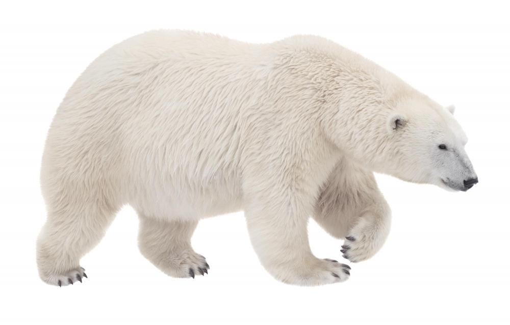 Polar bears can be used as an example of Bergmann's Rule.