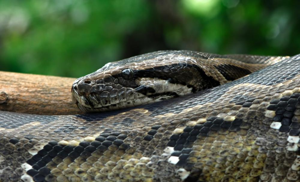 Pythons typically grow up to 25 feet.