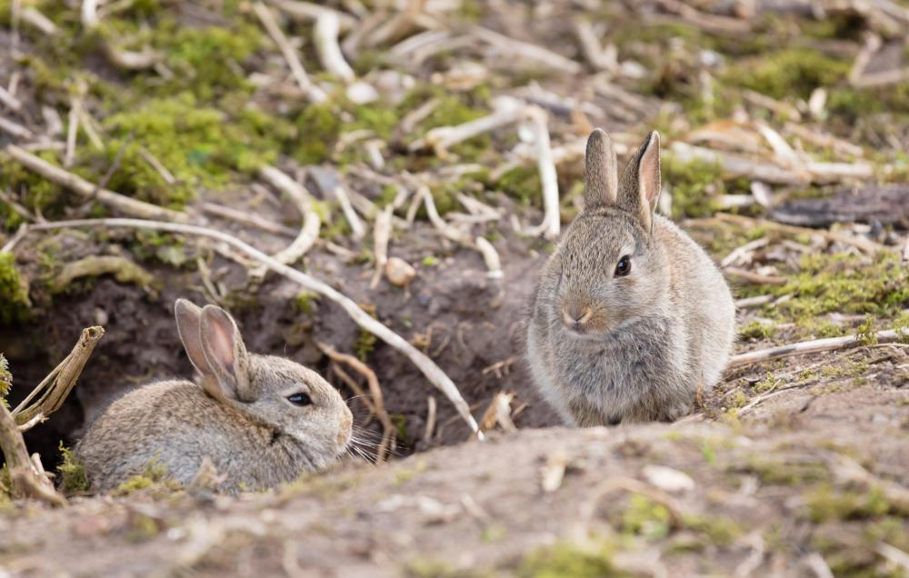 Rabbits are dwell in burrows.