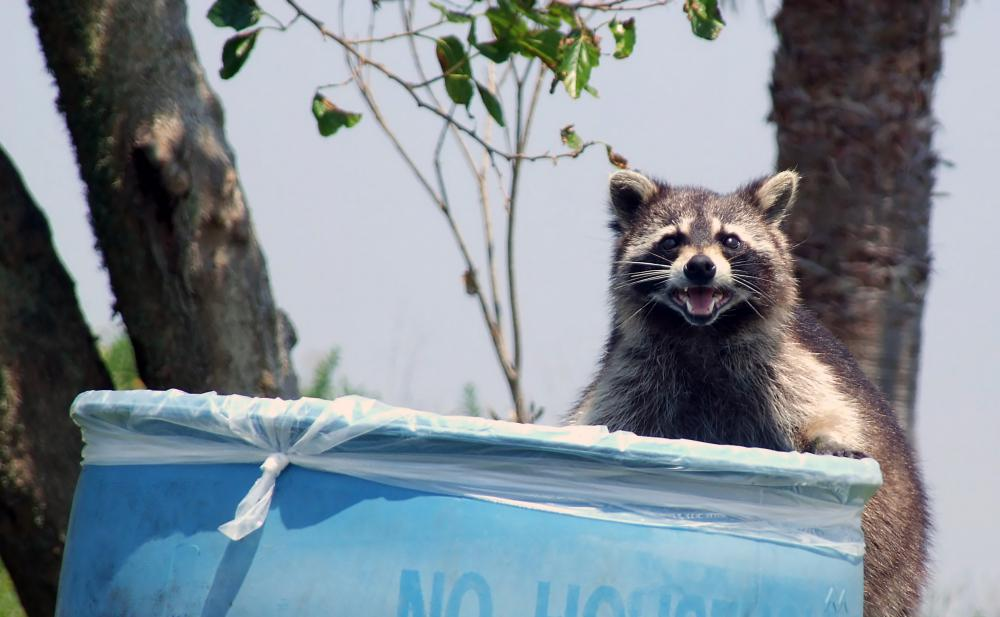 A raccoon on the edge of a trash can.