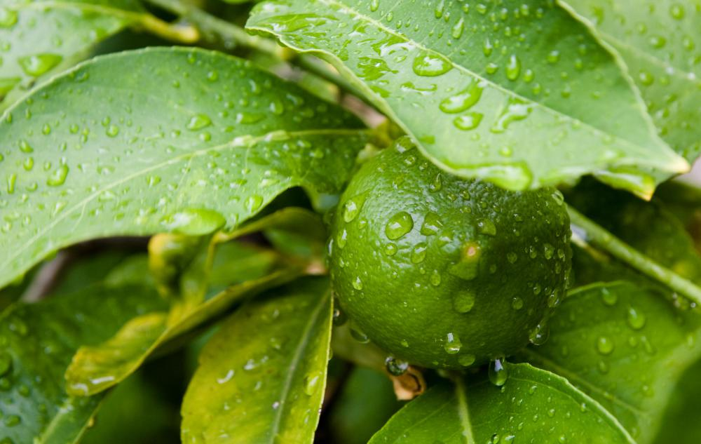 Acid rain can strip the waxy coating off of leaves.