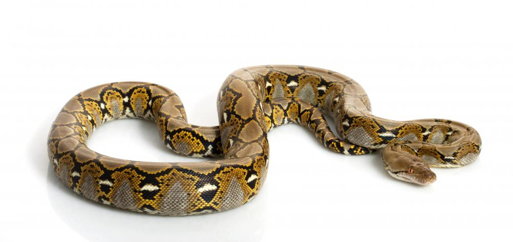 Reticulated pythons are native to the tropical areas of southeast Asia.