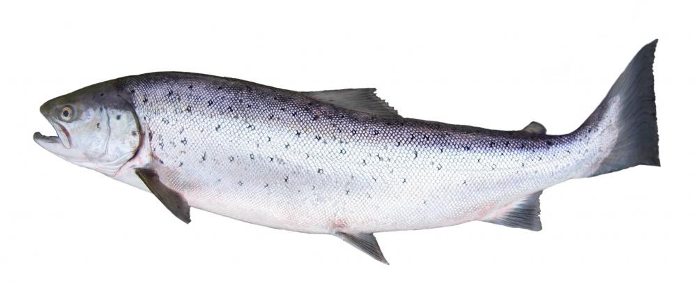 Salmon have dorsal, adipose, caudal, anal, pelvic, and pectoral fins.