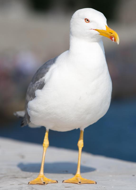 Seagulls are often found around shores and wetlands in search of food.