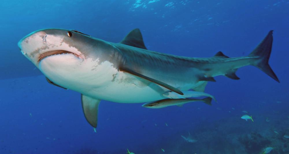 Certain species of sharks have nictating membranes to protect their eyes from thrashing prey.