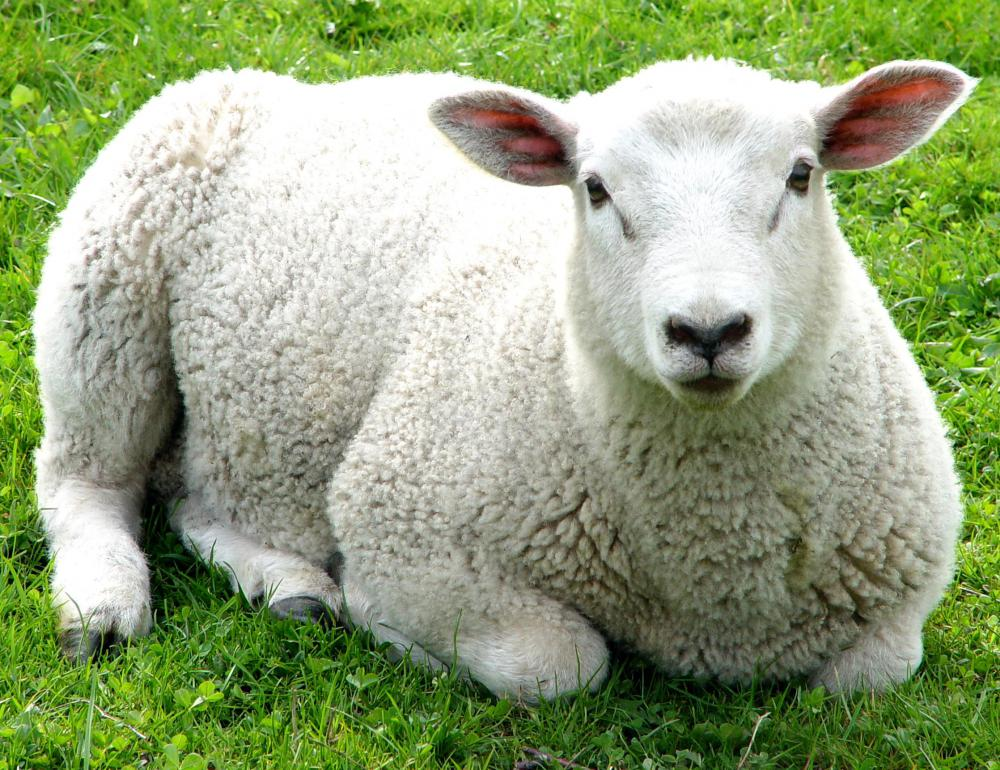 Sheep have excellent hearing and vision.