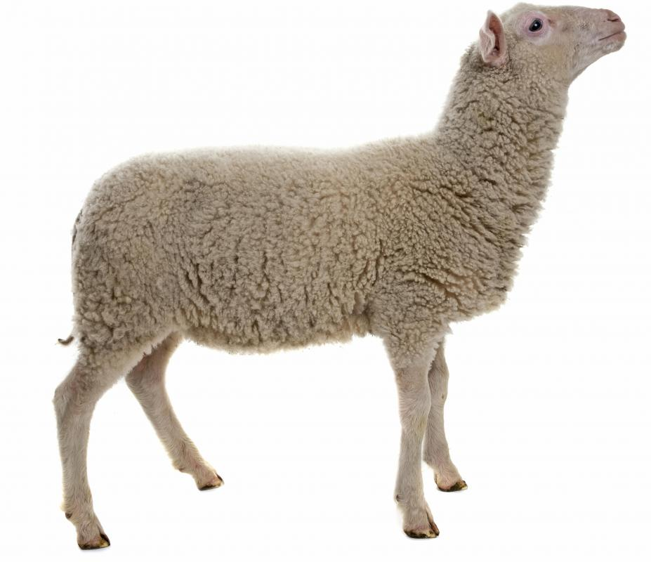 There are over 1,000 different breeds of sheep in the world.