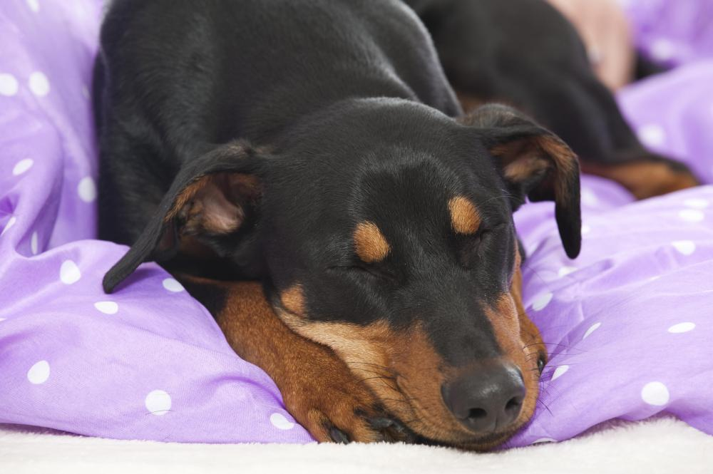 Dexamethasone might cause fatigue in dogs.