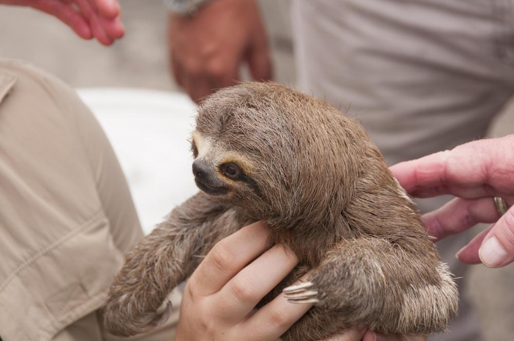 Highly specialized health care can be an expensive part of sloth ownership. Some areas require exotic pet insurance coverage for pet sloths.