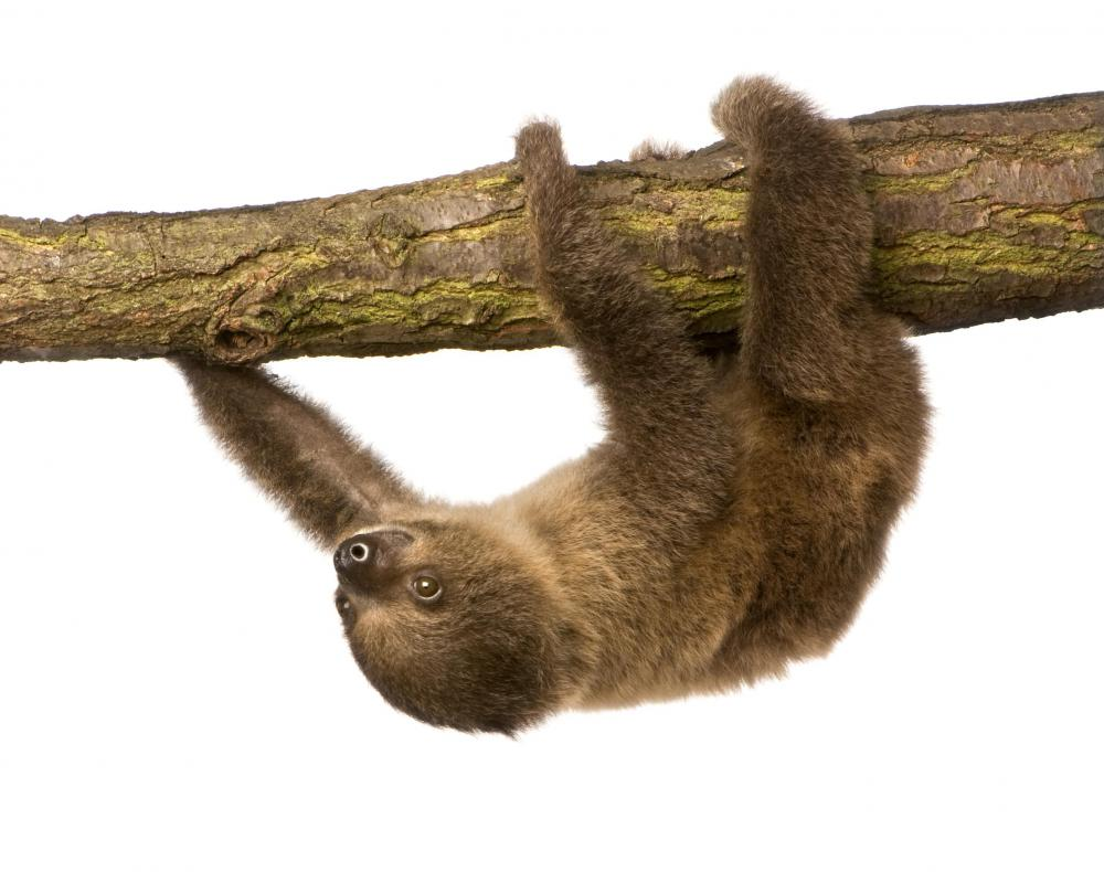 A sloth has trouble seeing any thing that isn't moving.