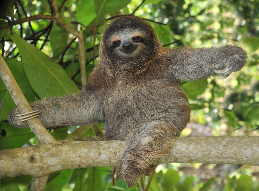 Sloths use long claws to grip on to branches and tree trunks.
