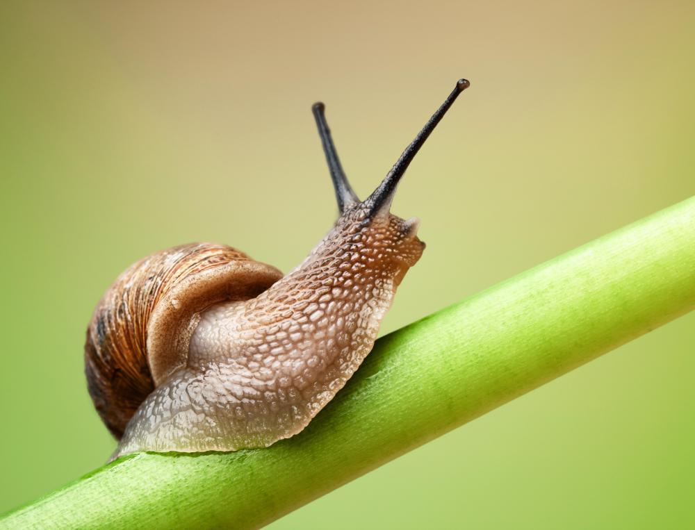Nacre may be seen in garden snails.