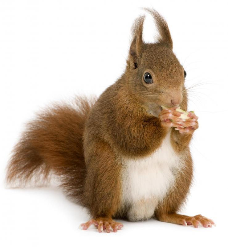 The squirrel, a warm blooded animal, hibernates during the winter.