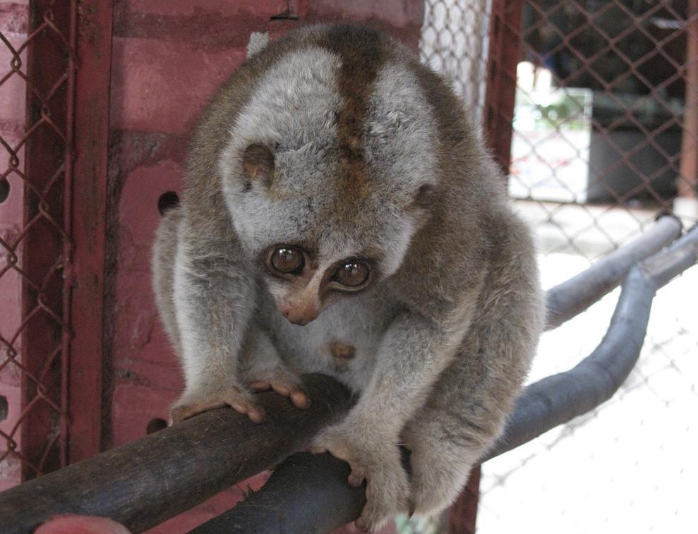 The Sunda slow loris is a type of nocturnal animal.