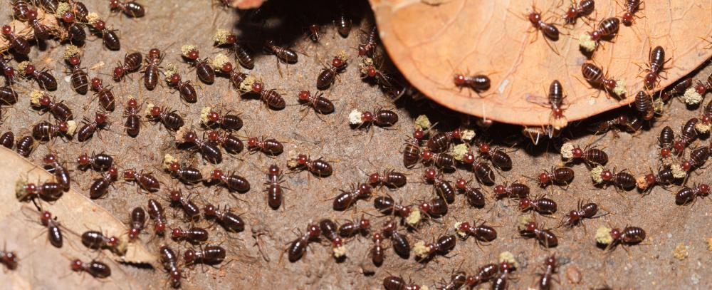 Flying termites can be difficult to remove from homes.