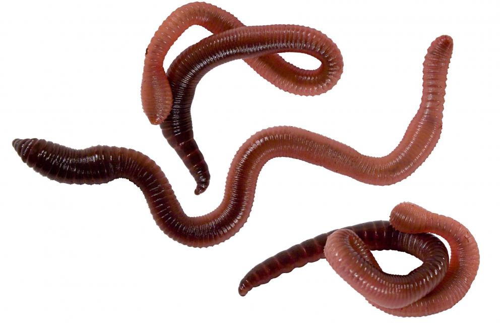 Earthworms are one type of burrowing animal.