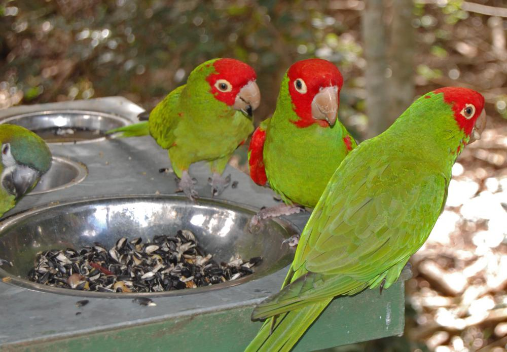 The red-masked parakeet has a base of green feathers and red feathers covering the face.