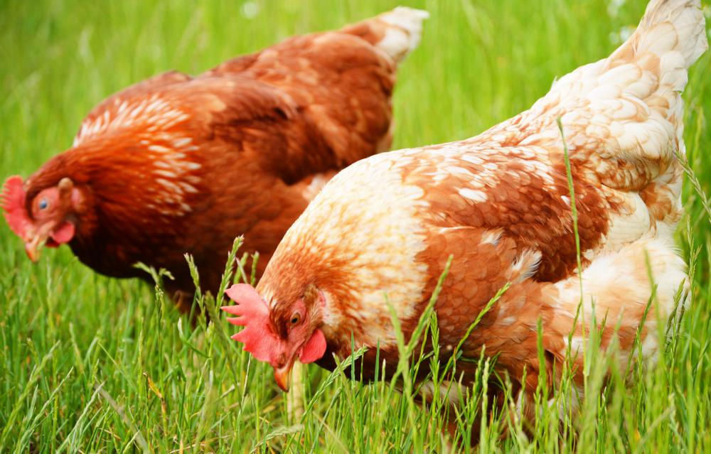 Free range chickens tend to produce healthier eggs.